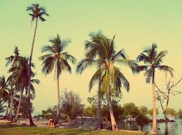 coconut palm trees free stock images by libreshot