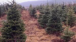 wholesale christmas trees pa