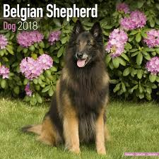 belgian sheepdog brown belgian shepherd dog calendar 2018 pet prints inc