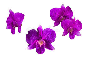 purple orchid flower purple orchid flower stock photo image of delicate bloom 34900522