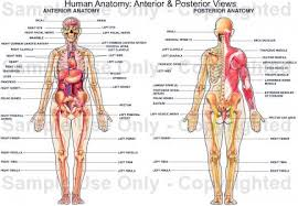Picture Of Abdomen Anatomy Human Anatomy Human Anatomy Pictures Muscles Abdomen Human