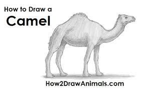 coloring page captivating how to draw a camal dromedary camel