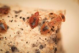Chicago Bed Bug Experts Chicago No 1 City For Bedbugs 4 Years In A Row Chicago Tonight
