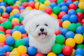 bichon frise breeders texas 17 reason the bichon frise is the best dog breed