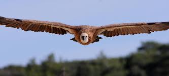 Seeking Vulture Birdlife Cyprus At Last Some News For Cyprus Vultures