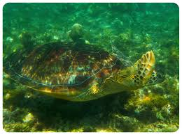 swimming with sea turtles in apo island the philippines