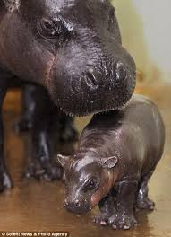 Baby Hippo Meme - pictured the rare baby hippo taking her first wobbly steps under