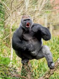 Gorilla by This Gorilla Is 28 Stone Of Muscle And He Wants To Fight You