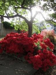 Flower Shrubs For Shaded Areas - 10 plants that grow well under trees plants gardens and yards