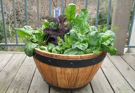 growing spinach bonnie plants