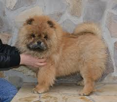 belgian shepherd for sale philippines chow chow puppies for sale euro puppy