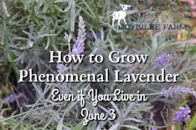 Most Fragrant Lavender Plant - how to grow phenomenal lavender even if you live in zone 3