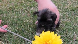 affenpinscher havanese mix little black havanese puppy playing youtube