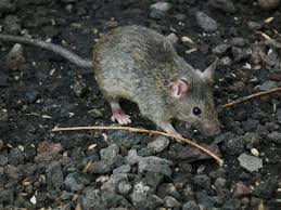 where to put rat traps and 11 more rat q u0026as