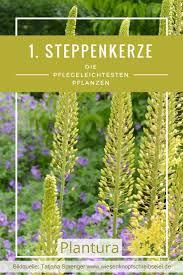 Kies Garten Gelb The 25 Best Steppenkerze Ideas On Pinterest Gräser Zierlauch