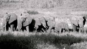 elephant family elephant photography elephant print
