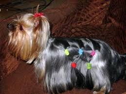 female yorkie haircuts styles explore yorkie haircuts pictures and select the best style for
