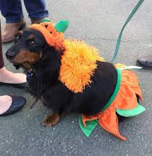 Halloween Costumes Dachshunds Halloween Dog Costume Contest Theberry
