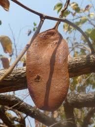 monkey bread tree n p c