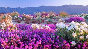 where to find wildflowers during san diego desert u0027s u0027super bloom