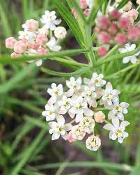 native plants to illinois category illinois prairies