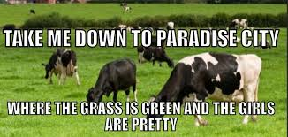 Funny Cow Memes - dairy memes home facebook