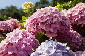 potare le ortensie in vaso come coltivare le ortensie in vaso o nel giardino tutti i segreti