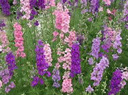 A Garden Of Flowers by Larkspur At Its Best In The South A Garden Of One U0027s Own By