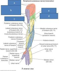 Innervation Of Infraspinatus Print Anatomy Block Iii Shoulder Axilla Arm Cubital Fossa