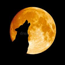 wolf howling at the moon stock image image of danger 23738549