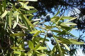 edible native australian plants bush food native plant and revegetation specialists