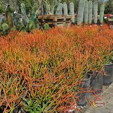 native desert plants sticks of fire more traditionally called fire stick euphorbia