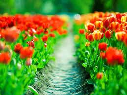 spring tulips wallpaper wallpapersafari
