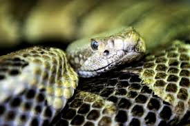 through my lens photography u003e shop u003e nature u003e timber rattlesnake