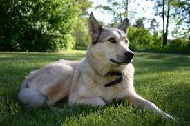 Causes Of Sudden Blindness In Dogs In Dogs Symptoms Causes Diagnosis Treatment Recovery