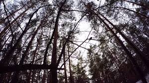 looking up to blue sky framed by forest tree tops the edge of the