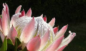 protea flower 10 fascinating facts to about the protea south africa s