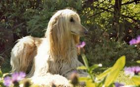 afghan hound tattoo afghan hound backround images walls pics by clay robertson