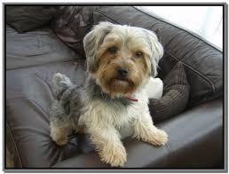 shorkie hair styles hairstyles for male yorkies yorkshire terrier grooming styles