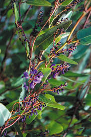 australian native plants with purple flowers happy wanderer hardenbergia