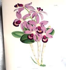 purple orchids purple orchids flower print cattleya floral 1800s