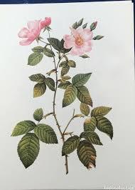 imagenes de rosas vintage lamina rosas vintage comprar documentos antiguos en