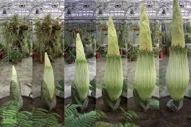 largest flower in the world world s biggest flower blooms in switzerland ritemail