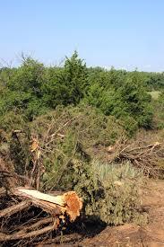 waging war on cedar trees ag news hpj