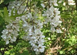ornamental flowering tree robinia