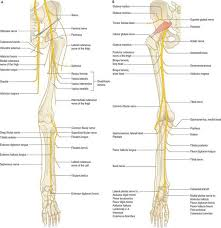 Bicep Innervation Pelvic Girdle And Lower Limb Overview And Surface Anatomy
