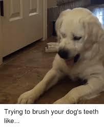 Dog Teeth Meme - trying to brush your dog s teeth like meme on me me