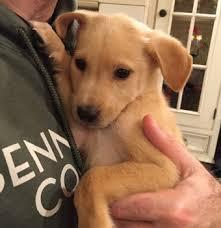 belgian sheepdog golden retriever mix happy tales 2015