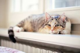 are calico cats always female