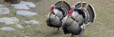 turkey can can domestic turkeys fly why our thanksgiving meal can t take